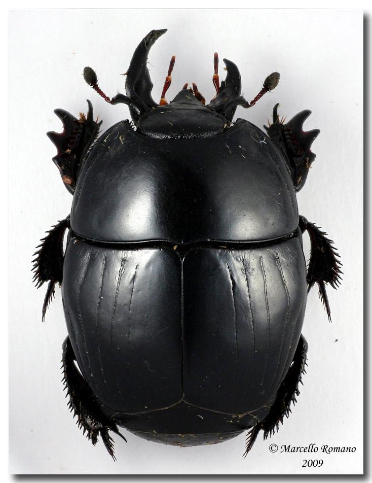 http://www.entomologiitaliani.net/public/forum/img/velvet%20ant/20090604154715_Hister%20inaequalis_Gibilmanna_23%20V%202009.jpg