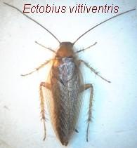 Ectobius dorso.jpg