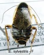 sylvestris Piccola.JPG